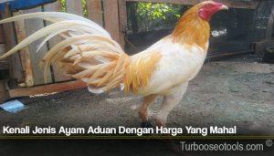 Kenali Jenis Ayam Aduan Dengan Harga Yang Mahal