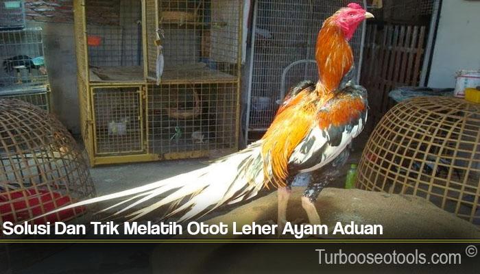 Solusi Dan Trik Melatih Otot Leher Ayam Aduan