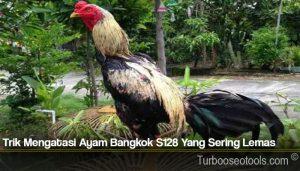 Trik Mengatasi Ayam Bangkok S128 Yang Sering Lemas