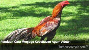 Panduan Cara Menjaga Kesehatan Ayam Aduan